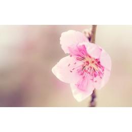 桃花美容有良方